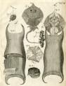 image ruysch f_thesaurus animalium_1710_plate 3