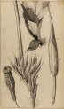 image hooke_r_micrographia_199