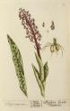image blackwell, e_herbarium blackwellianium_1750_p53