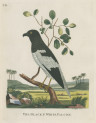 image pennant t_indian zoology_plate 2