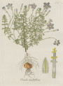 image jacquin_oxalis_plate 15