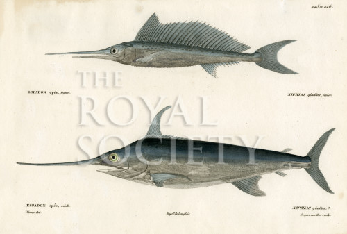image cuvier g_histoire---poissons_plate 225-226