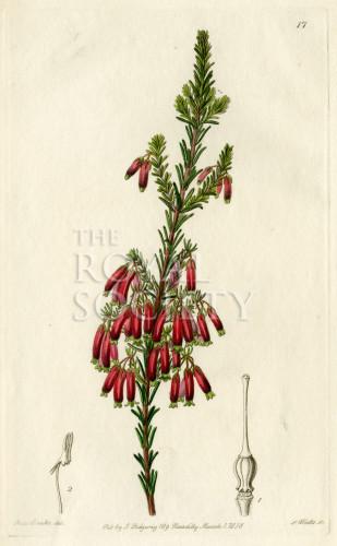 image lindley j_edwardss botanical register_v1_plate 17