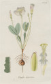 image jacquin_oxalis_plate 25