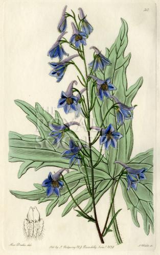 image lindley j_edwardss botanical register_v1_plate 30