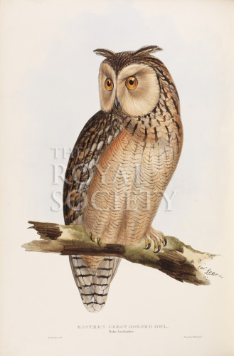 image gould, j_birds of europe_1832-7_vol4_eastern great horned owl