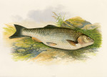 image houghton w_british fresh-water fishes_v1_1879_plate 9