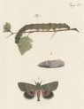 image fuessly_archiv der insect_plate 15