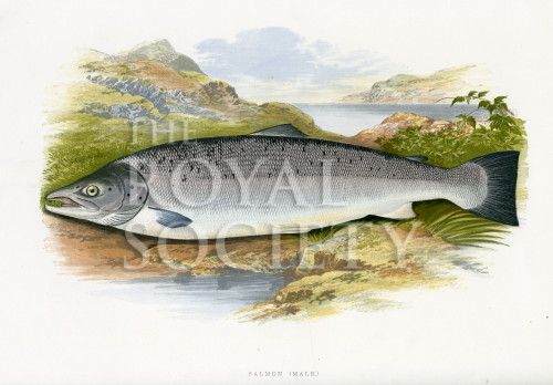 image houghton w_british fresh-water fishes_v1_1879_plate 19