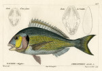 image cuvier g_histoire_poissons_plate 145