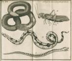 image Linnaeus, C_Amoenitates academicae_vol 1, 1744_tab 17