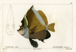 image cuvier g_histoire_poissons_plate 181
