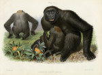 image owen r_memoir on the gorilla_1865_plate 2
