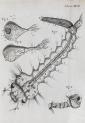 image hooke_micrographia_1665_schem xxvii