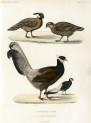 image nouvelles archives du museum_v1_1865_bulletin_plate 1
