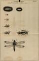 image swammerdam_j_1669_historia_insectorum_plate_8