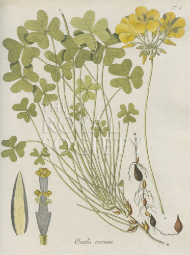 image jacquin_oxalis_plate 6