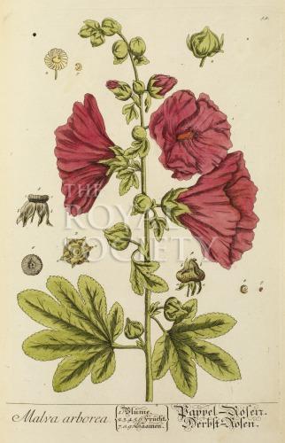 image blackwell, e_herbarium blackwellianium_1750_p54