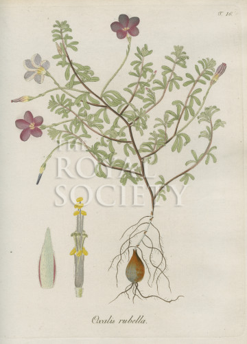 image jacquin_oxalis_plate 16