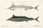 image cuvier g_histoire---poissons_plate 227-228