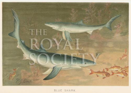 image lydekker r_royal natural history_v5_p522
