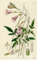 image lindley j_edwardss botanical register_v1_plate 19