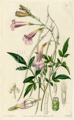 image lindley j_edwardss botanical register_v1_plate 19