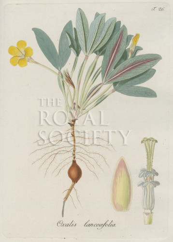 image jacquin_oxalis_plate 26