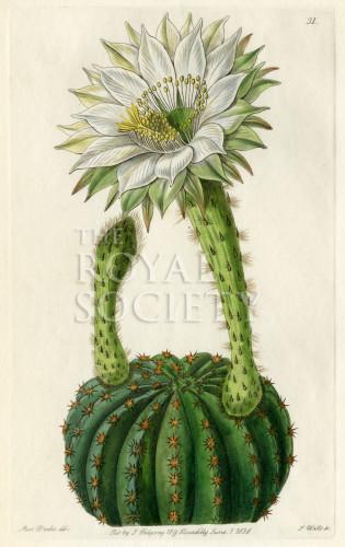 image lindley j_edwardss botanical register_v1_plate 31