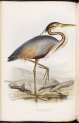 image gould, j_birds of europe_1832-7_vol4_purple heron