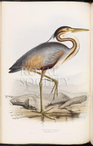 image gould, j_birds of europe_1832-7_vol4_purple heron