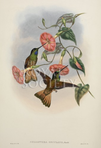image gould, j_trochilidae hummingbird supplement_1887_part5_buff-tailed star-frontlet