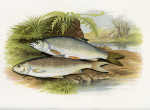 image houghton w_british fresh-water fishes_v1_1879_plate 10