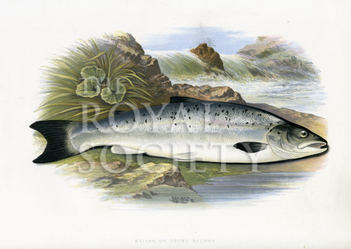 image houghton w_british fresh-water fishes_v1_1879_plate 20