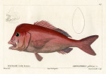 image cuvier g_histoire_poissons_plate 147