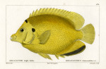image cuvier g_histoire_poissons_plate 182