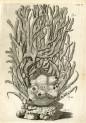 image ruysch f_thesaurus animalium_1710_plate 5