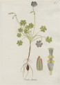 image jacquin_oxalis_plate 7