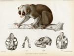 image nouvelles archives du museum_v3_1867_plate 3_lorus