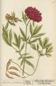 image blackwell, e_herbarium blackwellianium_1750_p65