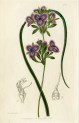 image lindley j_edwardss botanical register_v1_plate 8