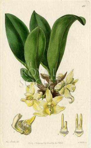 image lindley j_edwardss botanical register_v1_plate 20