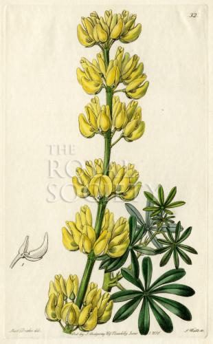 image lindley j_edwardss botanical register_v1_plate 32