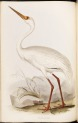 image gould, j_birds of europe_1832-7_vol4_white crane