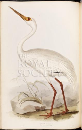 image gould, j_birds of europe_1832-7_vol4_white crane