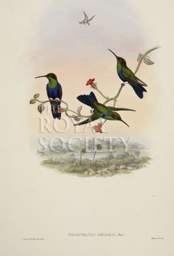 image gould, j_trochilidae hummingbird supplement_1887_part5_jelski