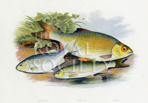 image houghton w_british fresh-water fishes_v1_1879_plate 11