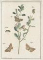 image fuessly_archiv der insect_plate 17