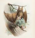 image aliston,er_biologia_centrali-americana_mammalia_tab4