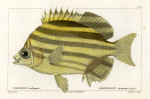 image cuvier g_histoire_poissons_plate 170